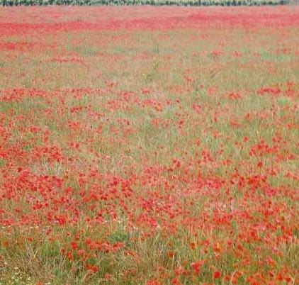 Poppy Field 1077