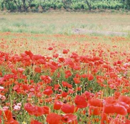Poppy Field 1078