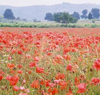 Poppy Field 1079