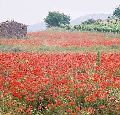Poppy Field 1080
