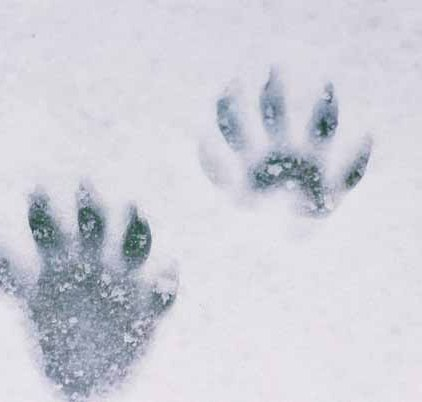 Raccoon Paw Prints 1085
