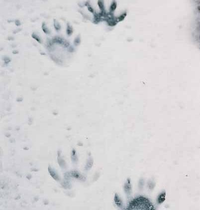 Raccoon Paw Prints 1086