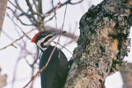 Pileated Woodpecker 1100