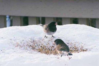 Birds Feeding 1103