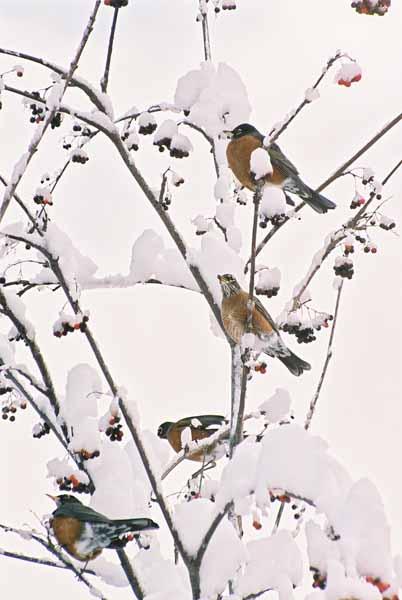 Birds and Berries 1106