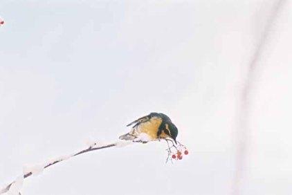 Bird and Berries 1107