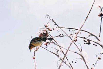 Bird and Berries 1109
