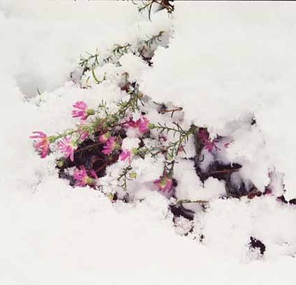 Pink Asters in the Snow 1135