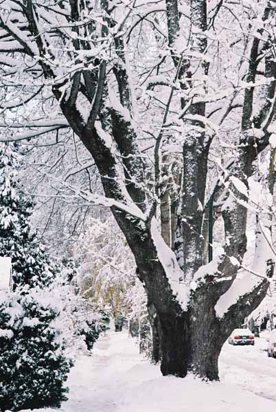 Trees in Snow 1167