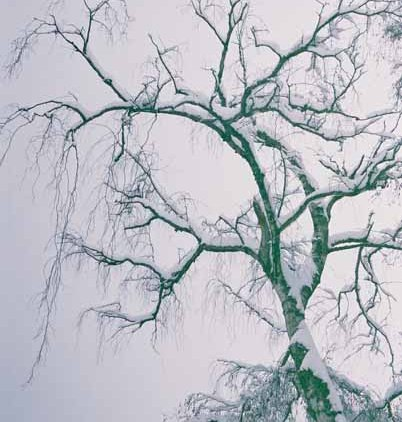 Snowy Tree 1173