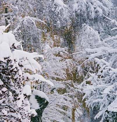 Snowy Trees 1176