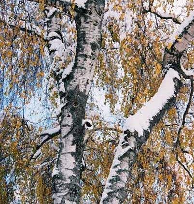 Snowy Tree 1182