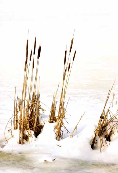 Reeds in Snow 1183