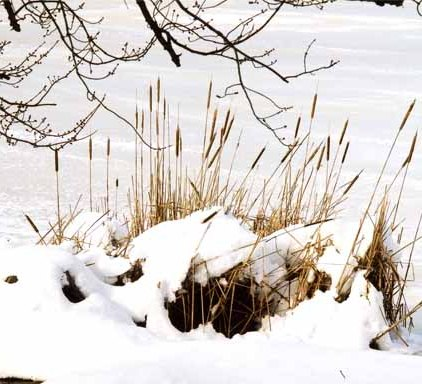 Reeds in Snow 1184