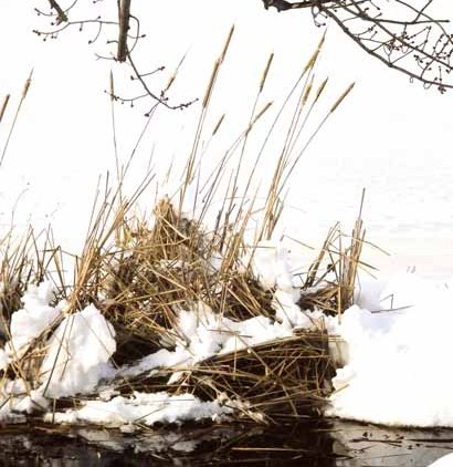 Reeds in Snow 1185