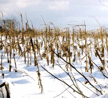 Corn Field in Snow 1186