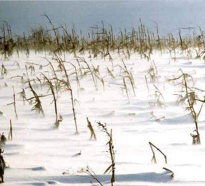 Corn Field in Snow 1188