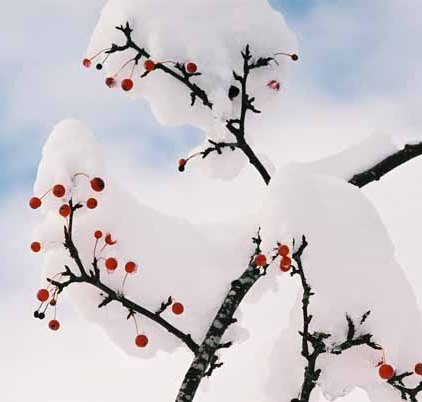 Red Berries in Snow 1195