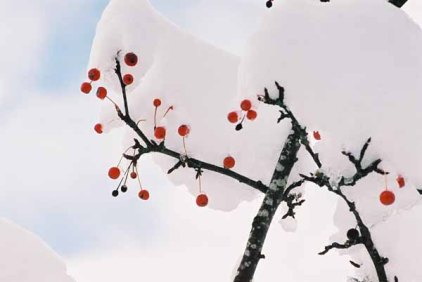 Red Berries in Snow 1196