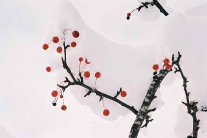Red Berries in Snow 1197