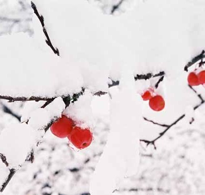 Red Berries in Snow 1198
