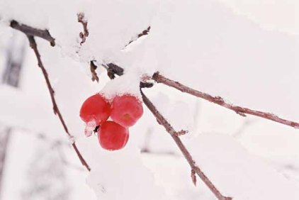 Red Berries in Snow 1199