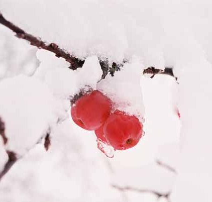 Red Berries in Snow 1200