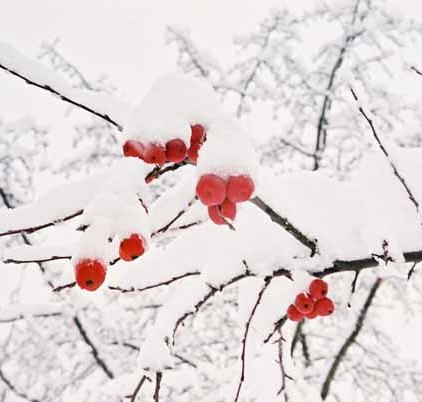 Red Berries in Snow 1201