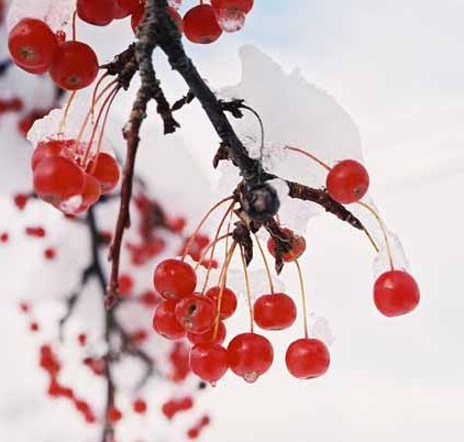 Red Berries in Snow 1202