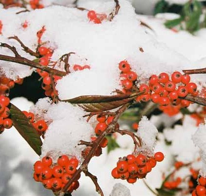 Red Berries in Snow 1203
