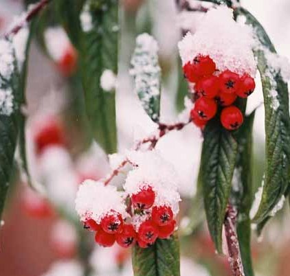 Red Berries in Snow 1204