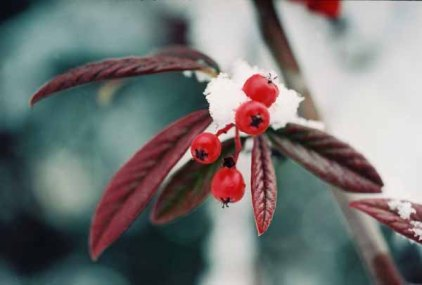 Red Berries in Snow 1205