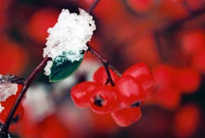 Red Berries in Snow 1207