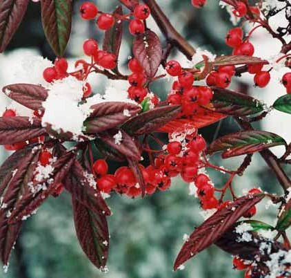 Red Berries in Snow 1213