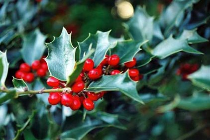 Holly Berries 1214