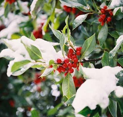 Holly in Snow 1219