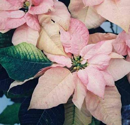 Pink Poinsettia 1224