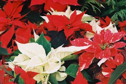 Poinsettias 1226