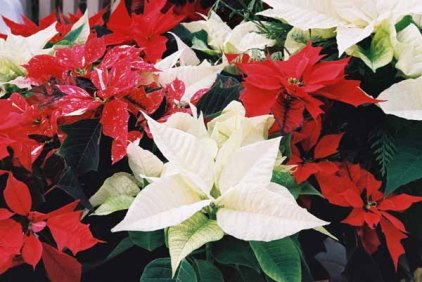 Poinsettias 1227