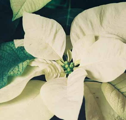 White Poinsettia 1231