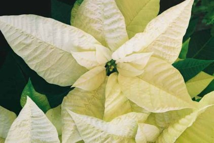 White Poinsettia 1232