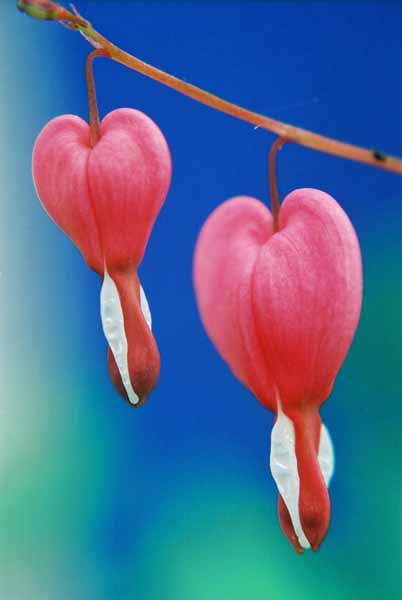 Bleeding Hearts 1513