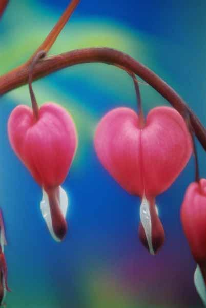 Bleeding Hearts 1515
