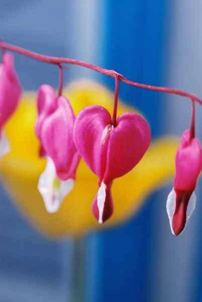 Bleeding Hearts 1518