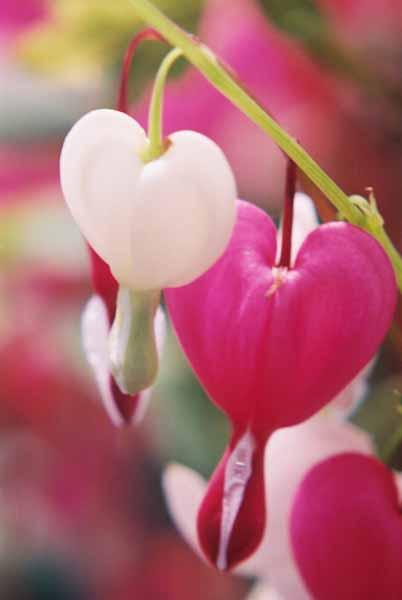 Bleeding Hearts 1519