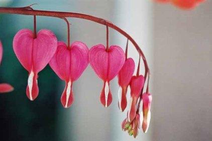 Bleeding Hearts 1522
