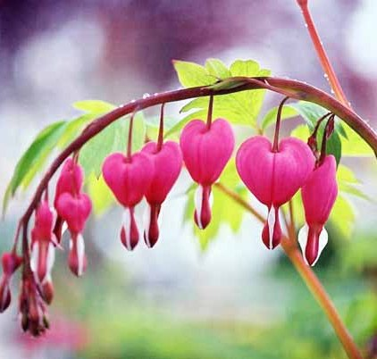 Bleeding Hearts 1524