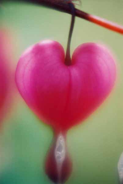 Bleeding Hearts 1526