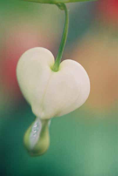Bleeding Hearts 1527