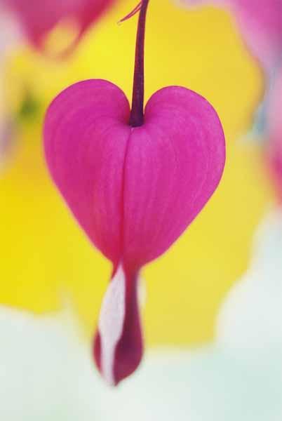 Bleeding Hearts 1531